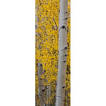 Quaking Aspen tree Boulder Mountain Dixie National Forest Utah USA Poster Print
