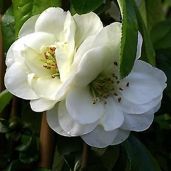 Chaenomeles x speciosa Yukigotan - Japonica / membrillo Ornamental planta en maceta de 9 cm