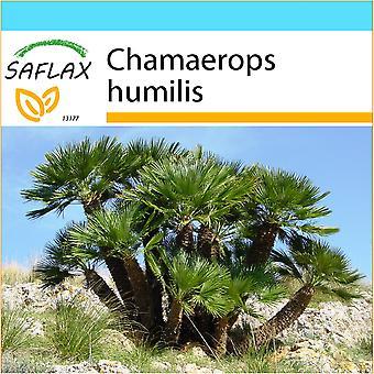 Saflax - Gift Set - 10 seeds - Dwarf Fan Palm - Palmier nain - Palma nana - Palma enana - Zwergpalme