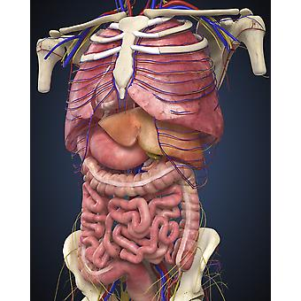 Midsection view showing internal organs of human body Poster Print