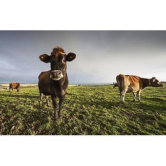 Kühe in einem Feld mit einer Kuh, starrte auf die CameraDumfries und Galloway Schottland PosterPrint
