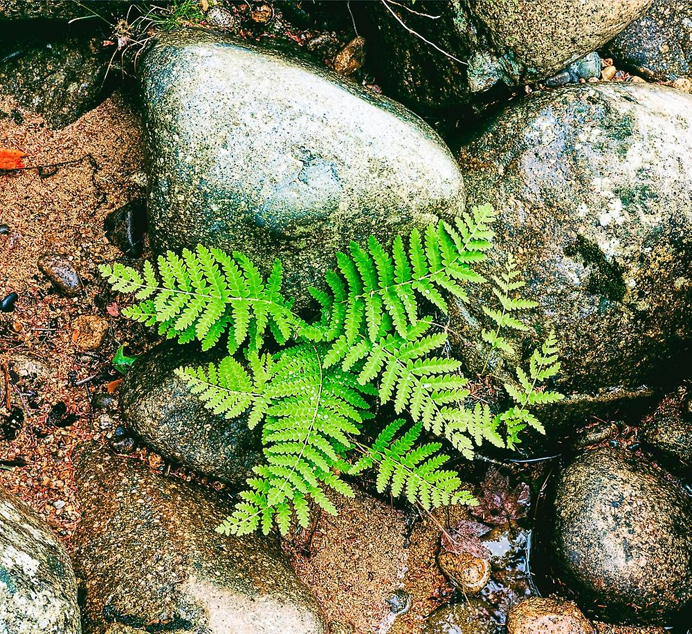 Fern leaves and rock in a forest Swift River blanc Mountain National Forest nouveau Hampshire USA Poster Print by Panoramic Images (36 x 32)