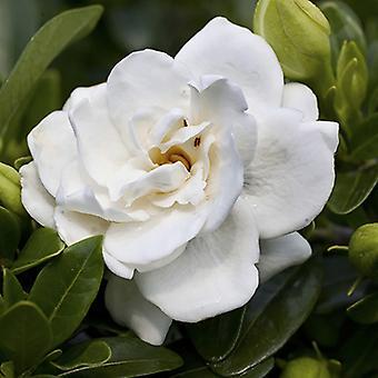 Winter Hardy Gardenia 'Crown Jewel' Flowering Shrub Plant in a 9cm Pot