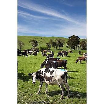 Neuseeland Nord Insel Milchviehbetrieb Kühe Tier Poster Print von David Wall