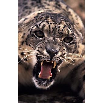 Tibet Snow Leopard captive Poster Print by Stuart Westmorland