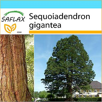 Saflax - Gift Set - 50 seeds - California Giant Redwood - Séquoia géant - Sequoia gigante - Árbol mamut - Berg - Mammutbaum