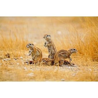 Namibia Etosha NP Cape Ground Squirrel Poster Print by David Slater