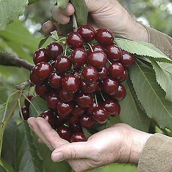 Stella Cherry Fruit Tree in a 5L Pot on dwarf rootstock for patios and pots