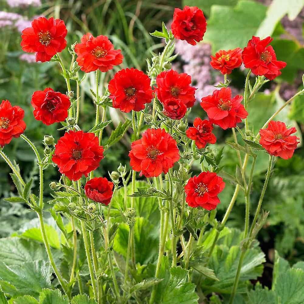 Geum chiloense Mrs J Bradshaw - Avens, Plant in 9cm Pots