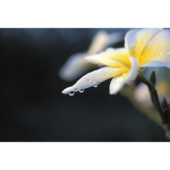 Hawaii Plumeria hvit PosterPrint