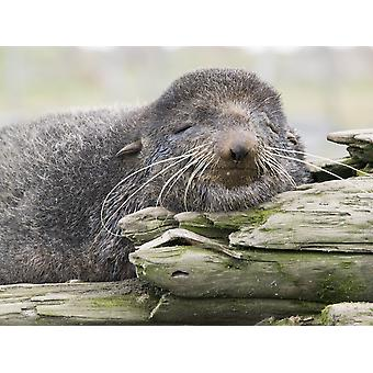 Northern Fur Seal Bull Resting On Driftwood St Paul Island Southwest Alaska PosterPrint