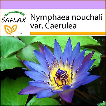 Saflax - 15 seeds - Blue Lotus - Lotus bleu - Loto blu dell'India - Loto azul - Blaue Seerose