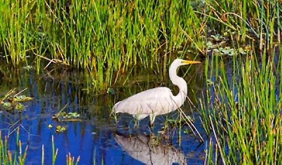 Reflection of blanc crane in pond Boynton Beach Florida USA Poster Print by Panoramic Images (36 x 22)