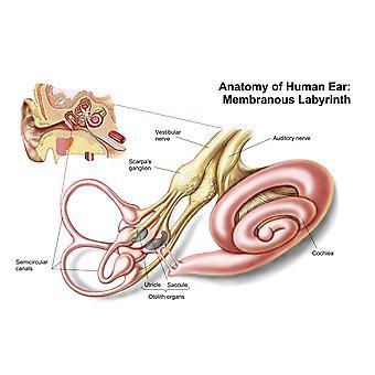 Anatomia do labirinto membranoso de ouvido humano Poster Print