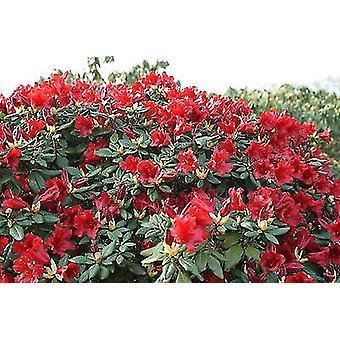 Rhododendron Scarlet Wonder - dwerg Rhododendron - planten in 9cm Pot