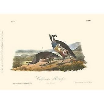 California Partridge Poster Print by John James Audubon (13 x 10)