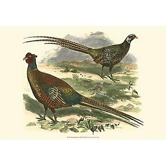 Bohemian Pheasant Poster Print by Vision studio (19 x 13)