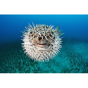 Hawaii The spotted porcupinefish (Diodon hystrix) floating in deep blue pacific waters PosterPrint