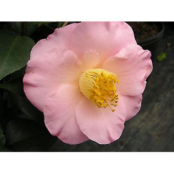Japonica de la camelia April Blush - rosa de invierno - planta en maceta de 9cm