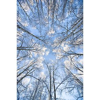 Looking Up Through Hoarfrost Covered Birch Trees In Russian Jack Park Anchorage Alaska PosterPrint