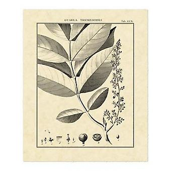 Vintage Botanical Study VI Poster Print by Sellier (16 x 20)