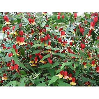 Abutilon megapotamicum Variegatum - Chinese Lantern, Plant in 9cm Pot