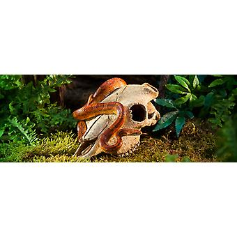 Exo Terra Exo Terra Buffalo Skull (Reptiles , Decoration , Caves & Rocks)