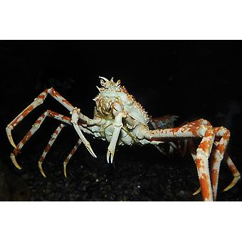 Japanese spider crab Poster Print by VWPicsStocktrek Images