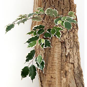 Artificial Silk Mini Ficus Exotica Spray FR