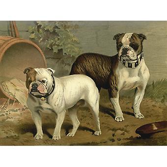 Ilustrowana książka pies 1881 Bull psy Poster Print CB Barber
