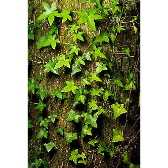 Red cedar English ivy Stanley Park British Columbia Poster Print by Paul Colangelo