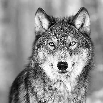 Wolf plakat Print af PhotoINC Studio