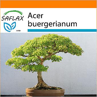 Saflax - Garden in the Bag - 30 seeds - Bonsai - Three Toothed Maple - Erable trident - Acero tridente - Arce tridente - B - Dreispitzahorn