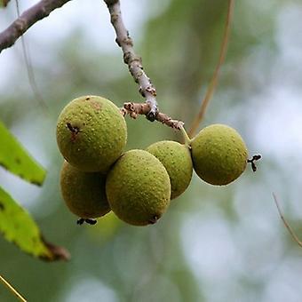 Juglans nigra (Black Walnut) - Plant