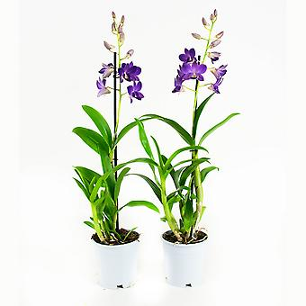 2  ×  Orchids – Bamboo orchid purple | Height: 55 cm | Dendrobium Sa-Nook