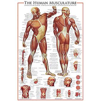 The Muscular System 1000 piece jigsaw puzzle 680mm x 490mm  (pz)
