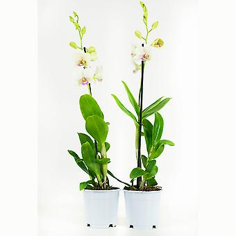 2 × Orchid – Snow Jade | Height: 55 cm | Dendrobium Sa-Nook