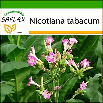Saflax - 250 seeds - With soil - Common Tobacco - Tabac - Pianta del tabacco - Tabaco de Virginia - Echter Virginischer Tabak