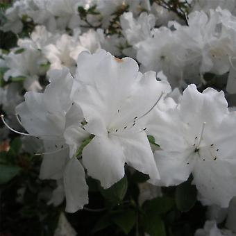 يم الأزالية نياجرا-النبات في وعاء 9 سم