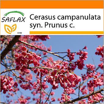 Saflax - jardim no saco - 10 sementes - Formosa Cherry - Cerisier de Taïwan - Ciliegio di Formosa - Cerezo ácido - Taiwan - Zierkirsche