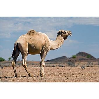 Camel near Stuart Highway Outback Northern Territory Australia Poster Print by David Wall