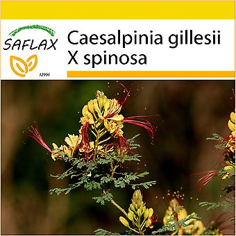 Saflax - Potting Set - 10 seeds - Peacock Shrub - Flamboyant nain d'Argentine - Uccello del Paradiso - Ave del paraíso - Winterharter Pfauenstrauch