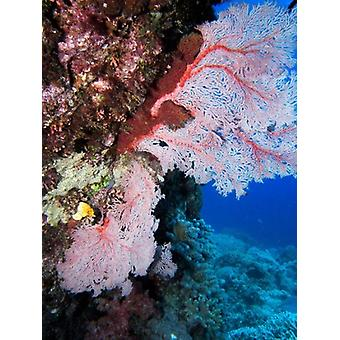 Fan Coral Agincourt Reef Great Barrier Reef North Queensland Australia Poster Print by David Wall