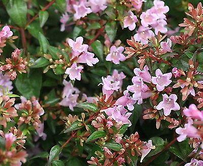 Abelia x grandiflora Edward Goucher - Glossy Abelia