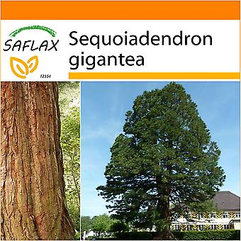 Saflax - Garden in the Bag - 50 seeds - California Giant Redwood - Séquoia géant - Sequoia gigante - Árbol mamut - Berg - Mammutbaum