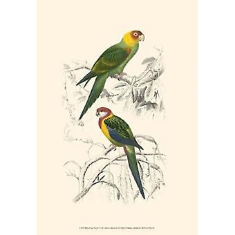 Vogels van Costa Rica IV Poster Print by C Dorbigney (13 x 19)