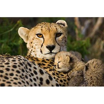 Cheetah thirteen day old cub resting against mother in nest Maasai Mara Reserve Kenya Poster Print by Suzi Eszterhas