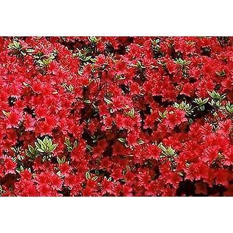 Azalea japonica Vuyks Scarlet _ Plant in 9cm Pot