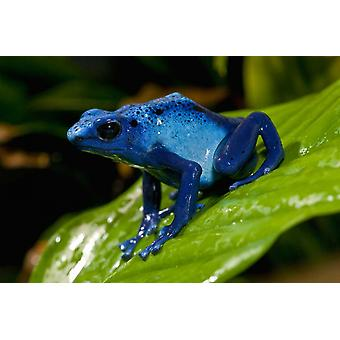 Blue Poison Dart Frog very tiny poisonous frog native to South America Poster Print by San Diego Zoo
