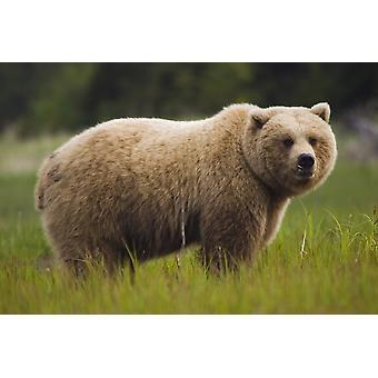 Orso Bruno nutrendosi di erba carice vicino Silver Salmon Creek a Lake Clark National Park Estate In Southcentral Alaska PosterPrint